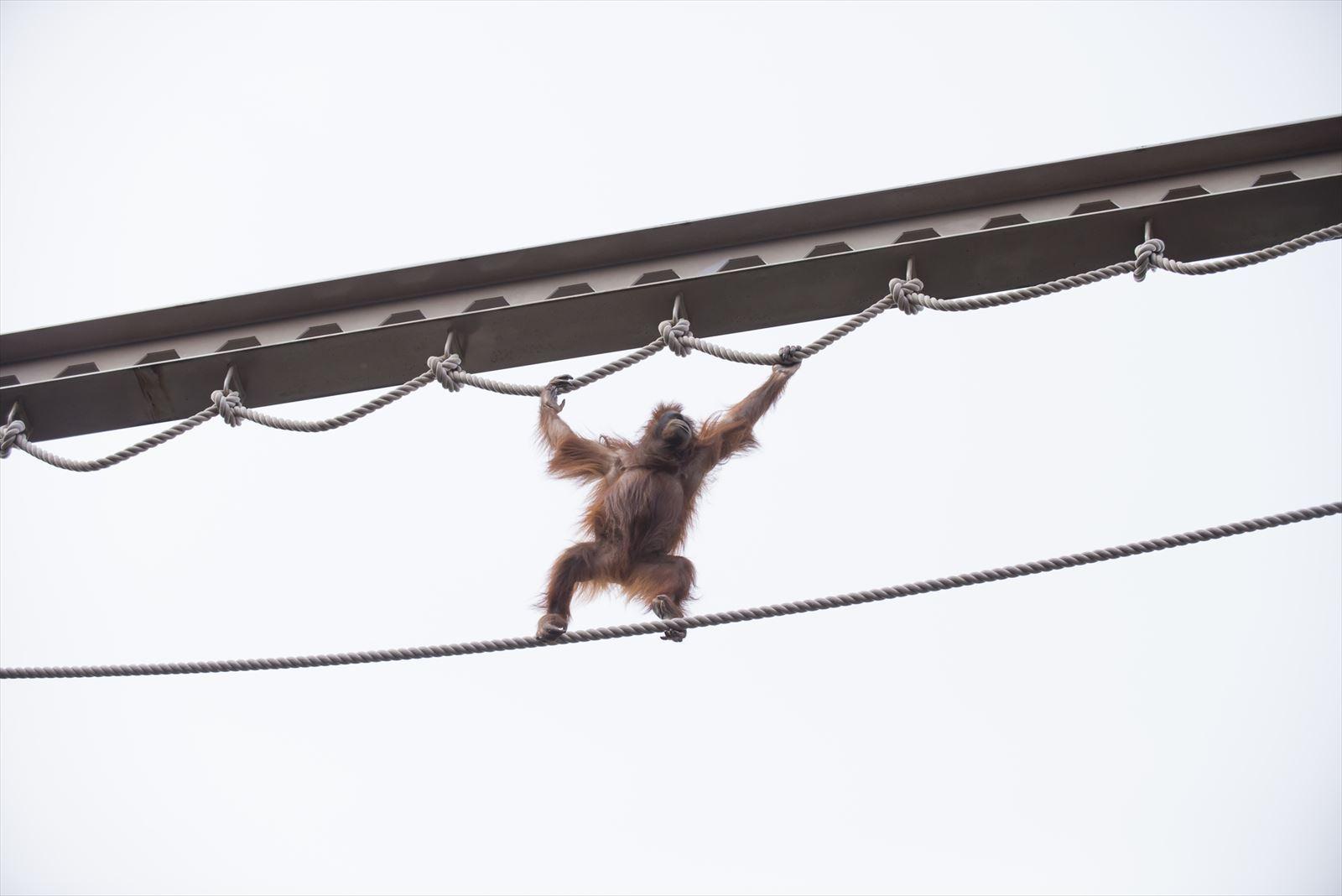 旭山動物園のオランウータン