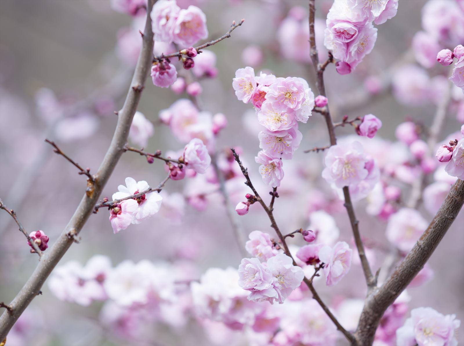 平岡公園 梅まつり