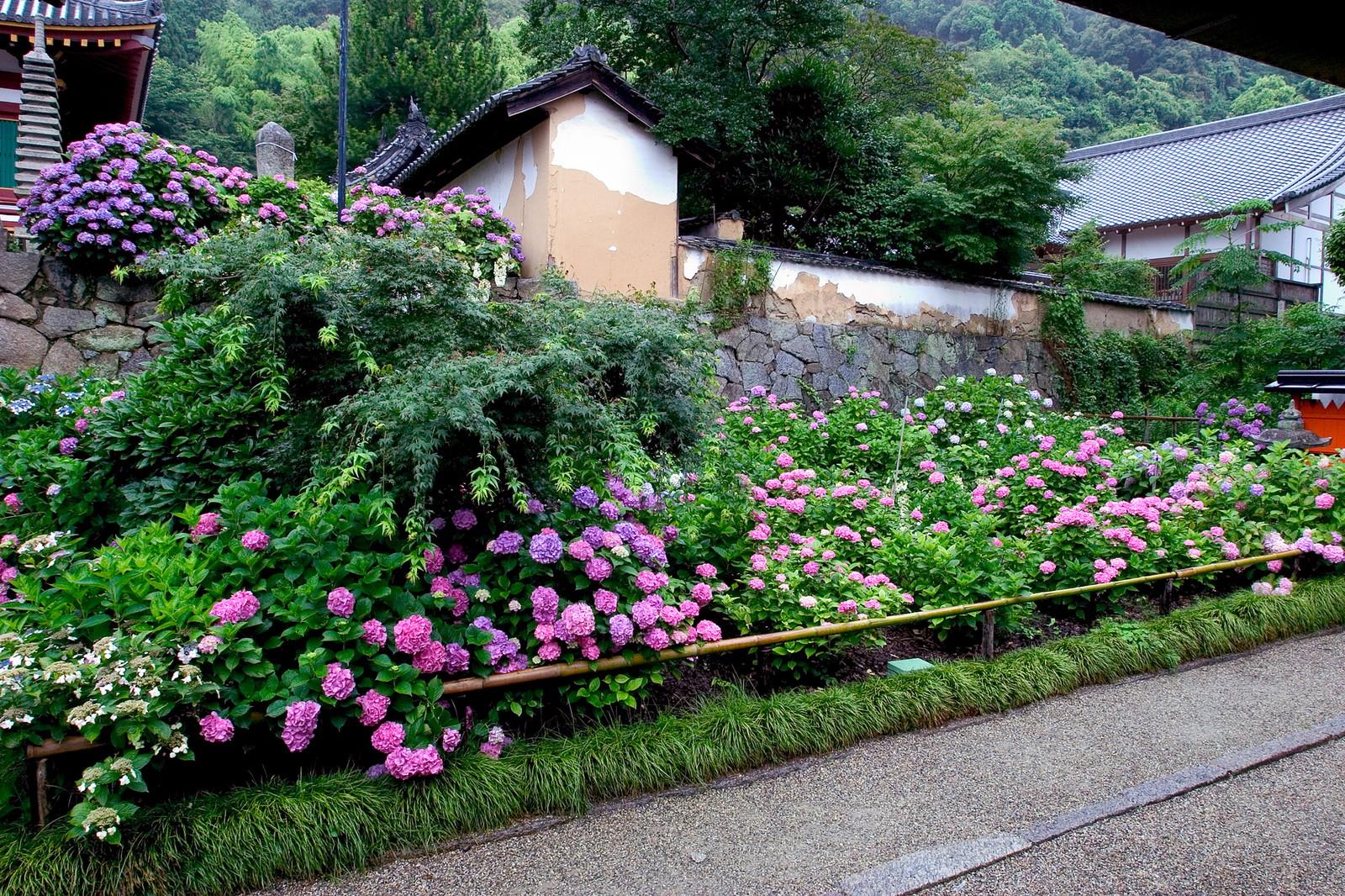 矢田寺にある紫陽花
