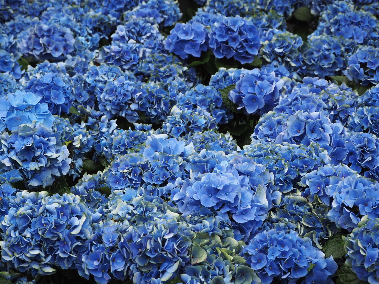県営権現堂公園にある紫陽花