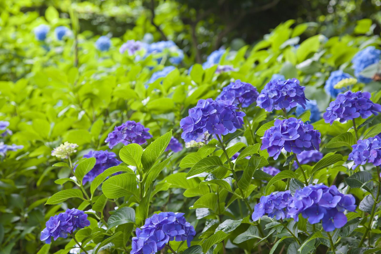 としまえんにある紫陽花