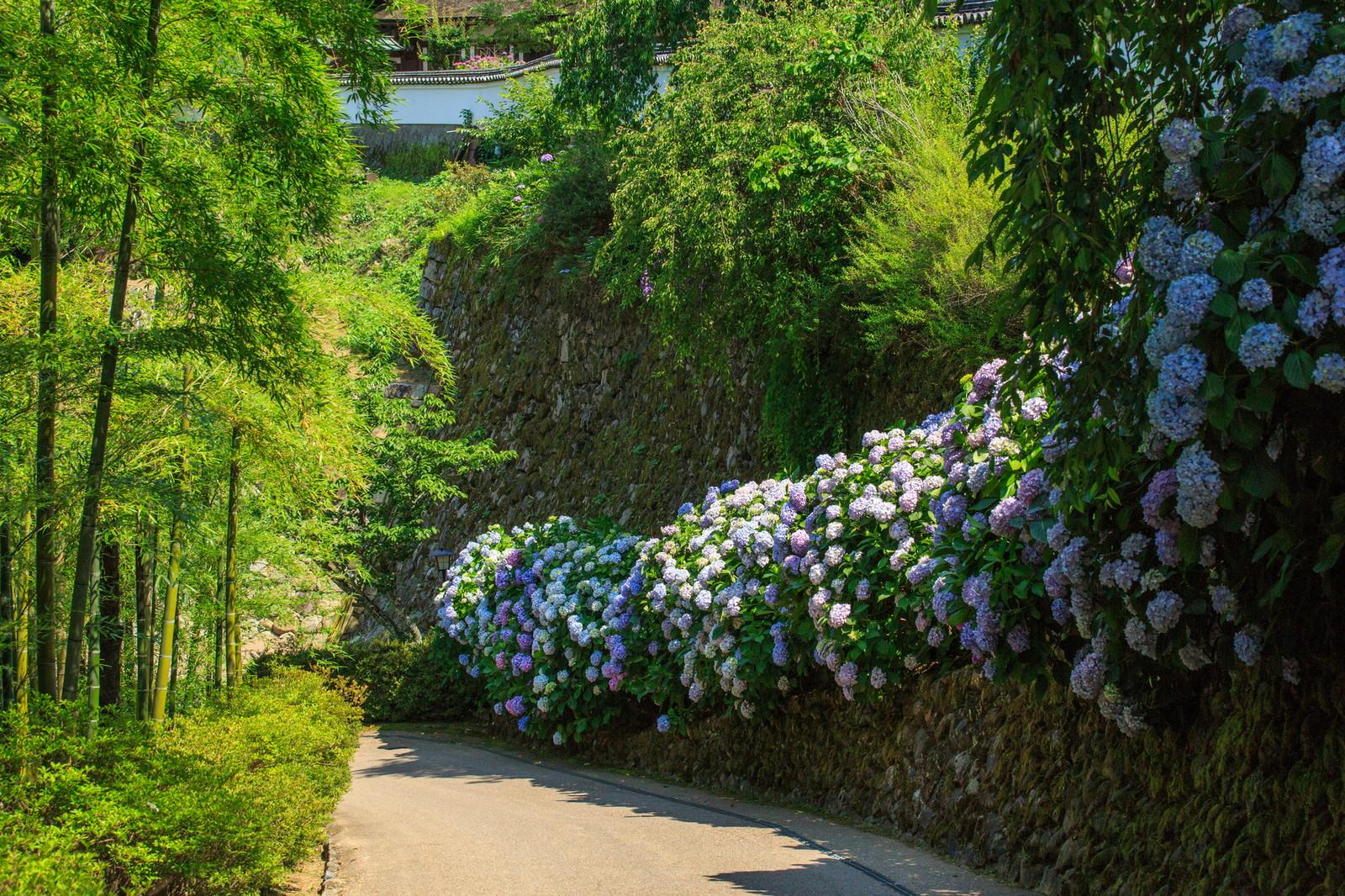 長谷寺にある紫陽花