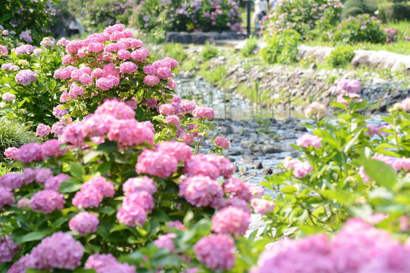 万博記念公園にある紫陽花