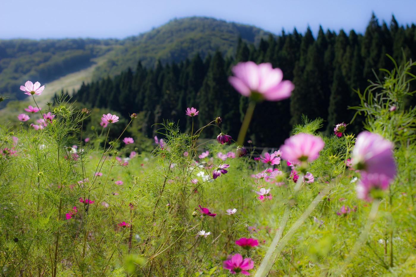 面白山高原コスモスベルグ
