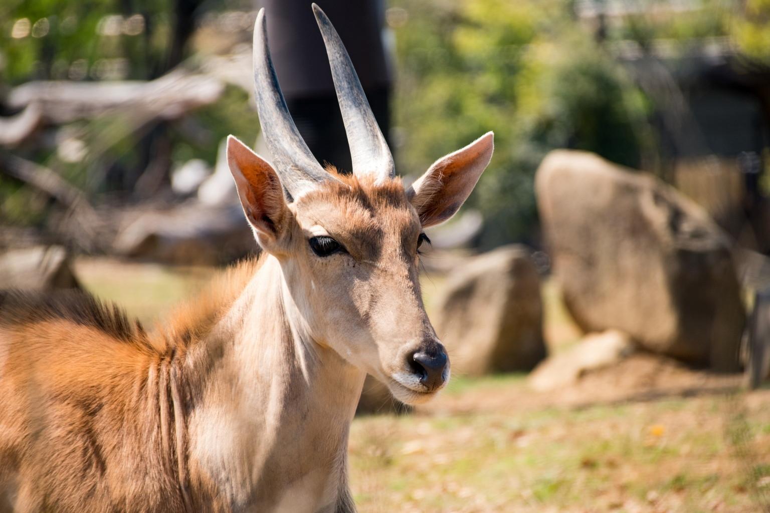 よこはま動物園ズーラシア(エランド)